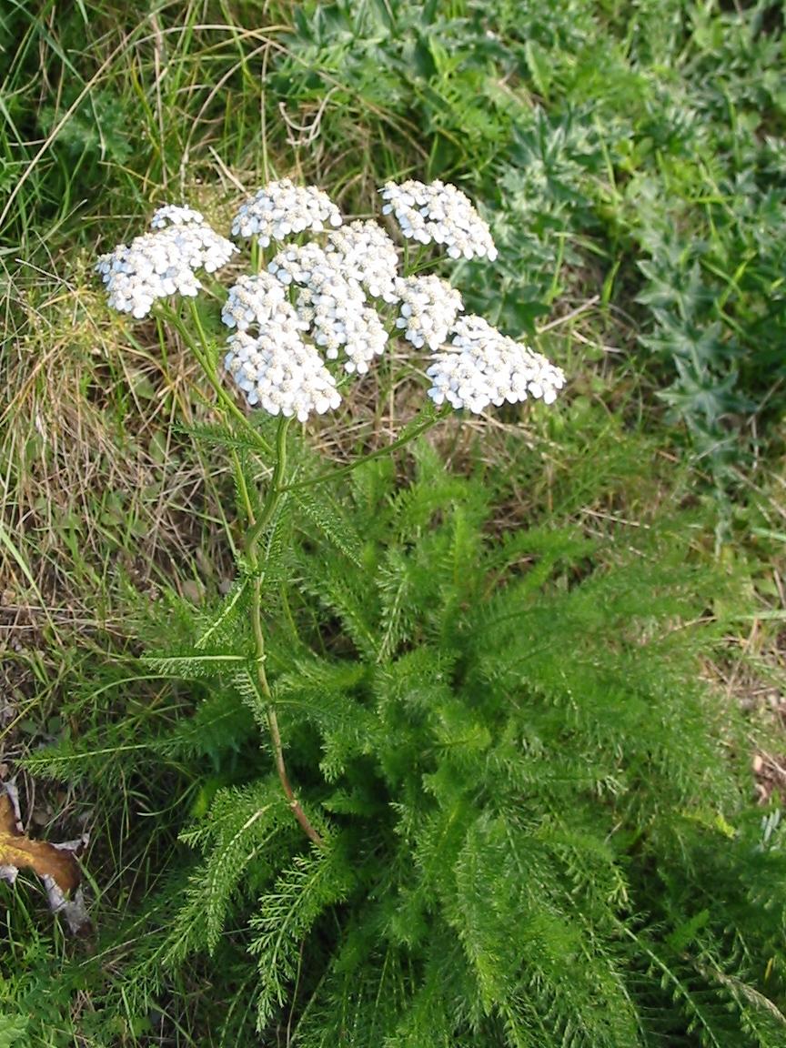 Picture of Live Yarrow (white) aka Achillea 'New Vintage White' Plant Fit 1 Gallon Pot