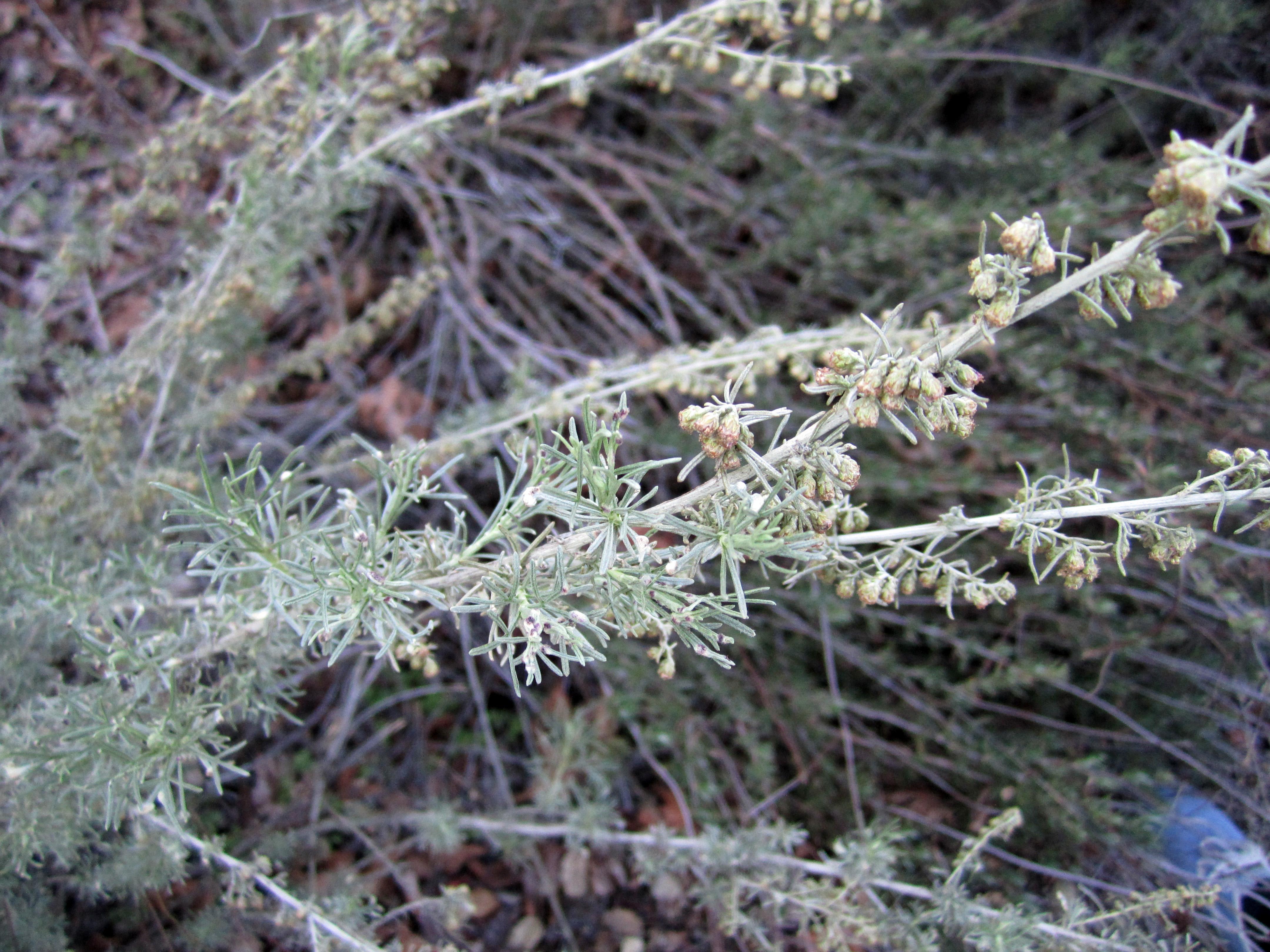 Artemisia Californica October's Blo...