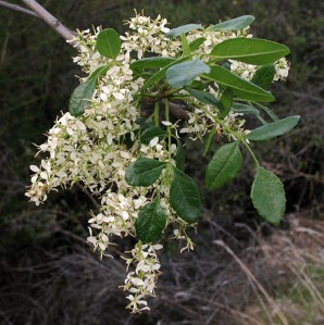 Flowering ash - Shady canyons like Murietta and Gridley