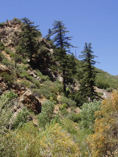 Big cone douglas fir, endemic to Southern California