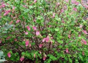 3-6' shrub Shipley Nature Center, Huntington Beach., CA. (cultivated)_3954