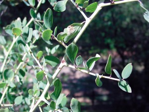 White thorn ceanothus leaves
