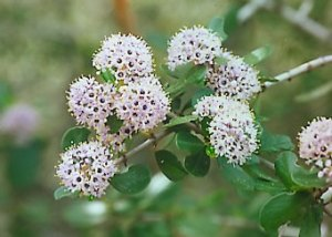 Buckbrush ceanothus