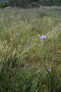Surfeit of purple: Blue dicks, purple needle grass, spring vetch and filaree