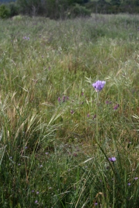 Surfeit of purple: Blue dicks, purple needle grass, spring vetch and filaree