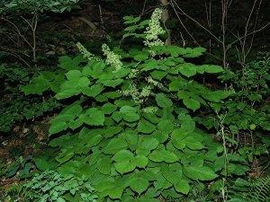 Aralia racemosa- Spikenard