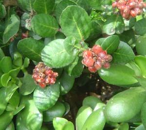 Rhus intergrifolia - Lemonade berry