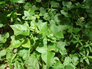 Rupertia physoides