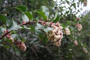 Rhus ovata- Sugar bush
