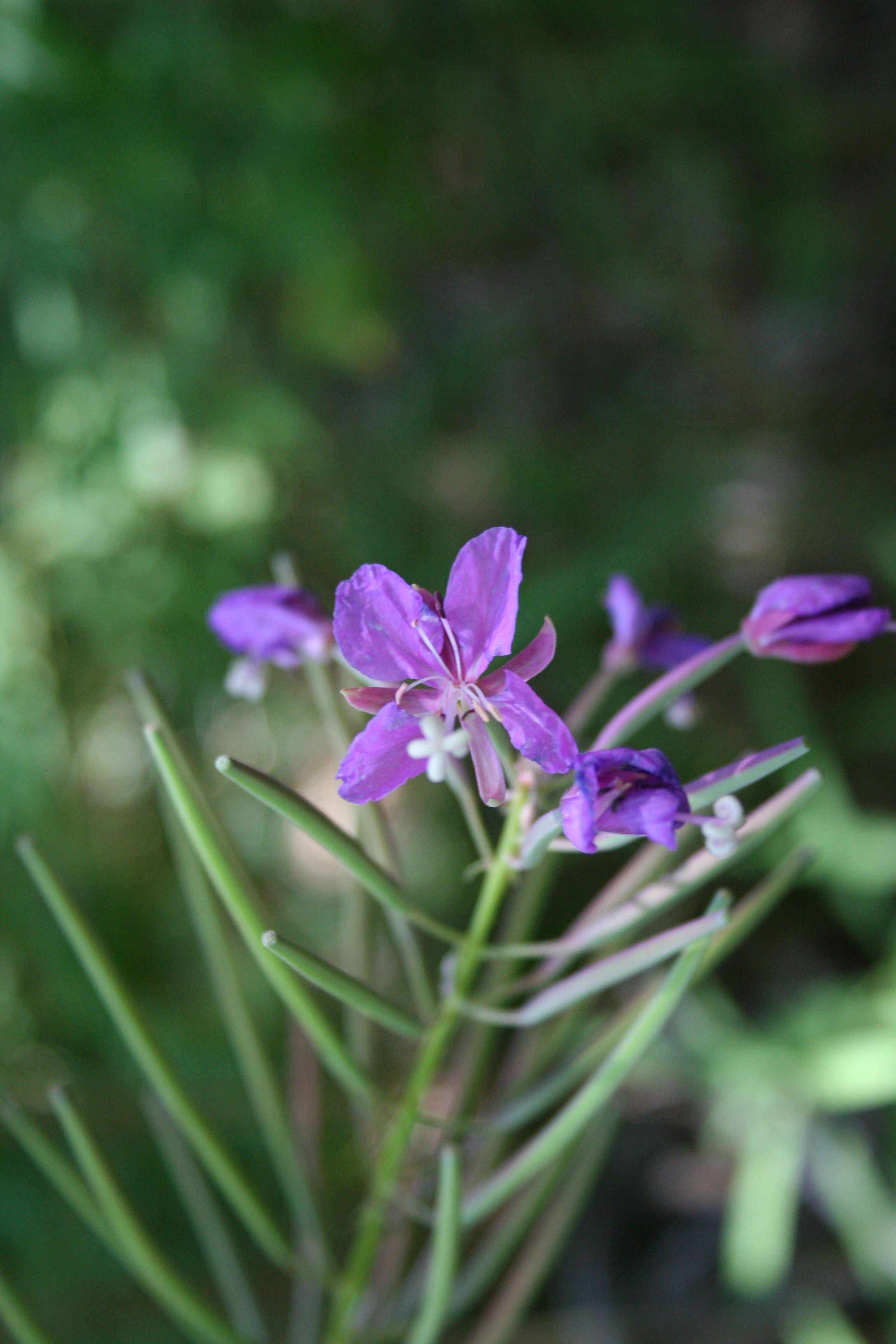 clarkia single guys Godetia is a flowering plant in my garden : clarkia amoena - kindle edition by maya baron, w tohme download it once and read it on.