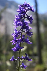 Giant mountain larkspur