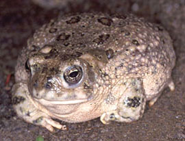 arroyo_toad1_usgs