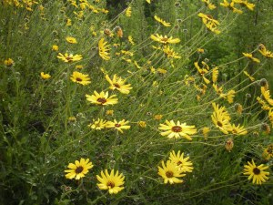 Encelia- bush sunflower