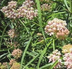 Narrow leaf milkweed