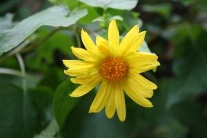 Venegasia- Canyon sunflower