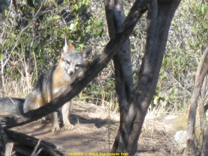 Gray fox on Fox Canyon trail in October