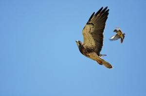 Western Kingbird (on the right)