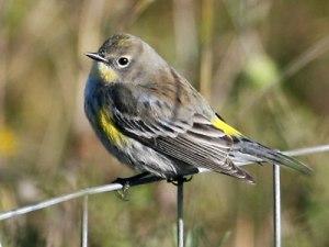 Fall plumage