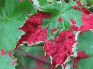 Erineum gall on a maple leaf