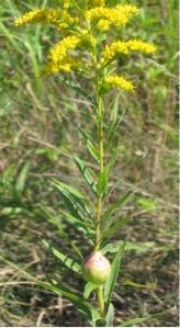 Gall fly's handiwork on a goldenrod