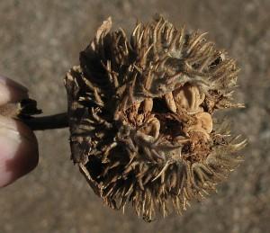 Jimson fruits and seeds