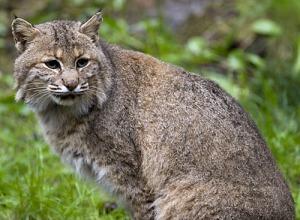 Lynx rufus - Bobcat