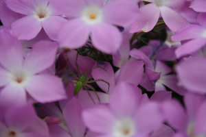 Spider in the phlox