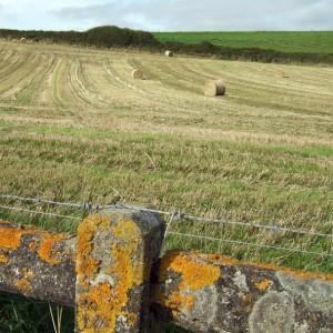 fence lichen