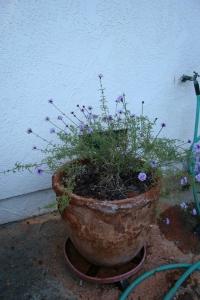 'De la Mina' Verbena, yes the pot has leprosy