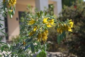 Bladderpod in full bloom