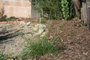 Purple needle grass (in my yard, a year old)