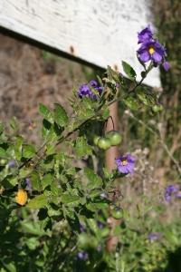 Solanum xantii