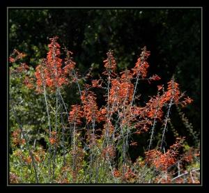 Keckiella ternata - Whorled leaf