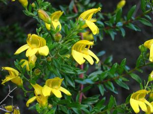 Yellow bush snapdragon