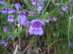 Foothill penstemon