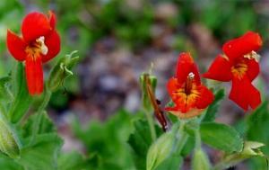 mimulus-cardinalis