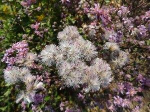 acortia microcephala seeds 2628