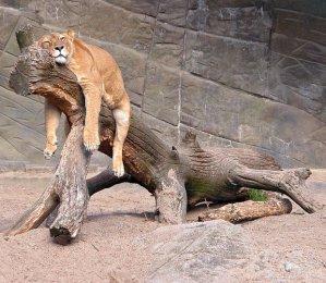 lazy-lion_1619688i
