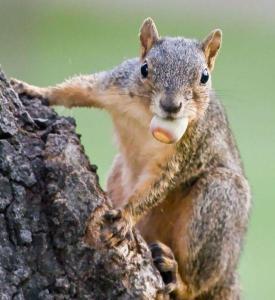 squirrel-steals-an-acorn