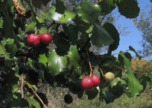 Holly-leaf cherry