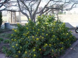 Full sized Berberis aquifolium