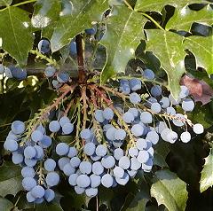 Aquifolium fruits