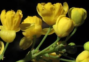 Berberis pinnata flower