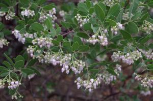 arctostaphylos-manzanita_x_densiflora-Austin-Griffiths-Manzanita