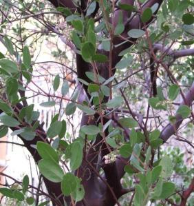 Arctostaphylos_manzanita_x_densiflora_Austin_Griffiths_Manzanita-2