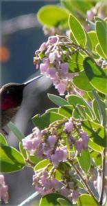 Arctostaphylos_manzanita_x_densiflora_Austin_Griffiths_Manzanita-5