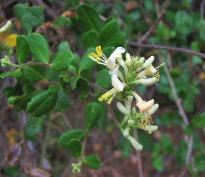 Chaparral honeysuckle