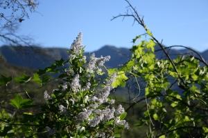 Green bark ceanothus