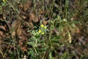 Small evening primrose (I think)