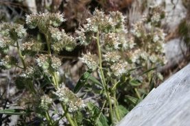 Kaweah River phacelia. One of 5 different phacelias we spotted